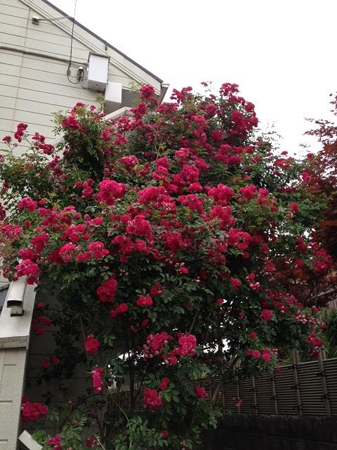 クレヨンハウスのバラ1.JPG