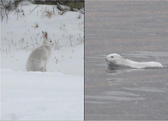 白いウサギ200611.jpg